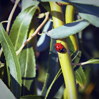 ladybug on a green branch of deciduous tree