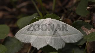 Waldreben-Grünspanners Hemistola chrysoprasaria