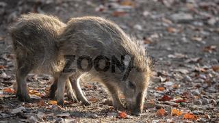 Wildschwein Frischlinge