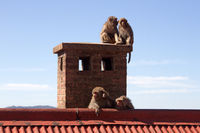 Monkeys on the roof