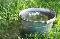 Camomile floats in a bucket full of clean water