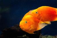 Two orange goldfishes, koi fishes in dark blue water