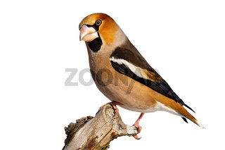 Side view of garden bird hawfinch sitting on branch in winter isolated on white