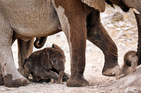 Neugeborener Elefant, Etosha-Nationalpark, Namibia, (Loxodonta africana) | new born elephant, Etosha National Park, Namibia, (Loxodonta africana)