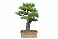 pine bonsai isolated