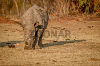 White rhino grazing in the bush.