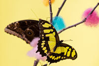Tropical butterflies over yellow