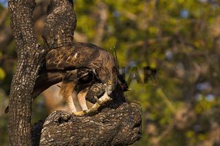 Changeable hawk-eagle, Nisaetus cirrhatus, Panna Tiger Reserve, Madhya Pradesh, India