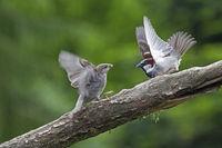 Haussperling Streit zwischen flueggem Jungvogel und Maennchen / Passer domesticus