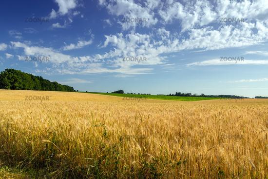 Agriculture Wheat crop field summer landscape