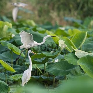 egret closeup in lotus pond