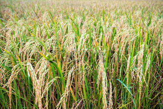 Close up ear of rice in paddy field