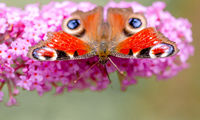 Peacock butterfly or aglais io sitting on a flower