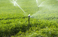 Watering plantation with carrots. Irrigation sprinklers in big carrots farm.