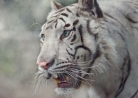 White tiger portrait