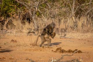 Chacma baboon walking away with something.