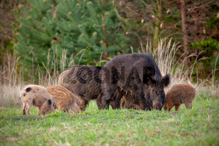 Wild sow with little stripped piglets grazing in fresh spring nature.