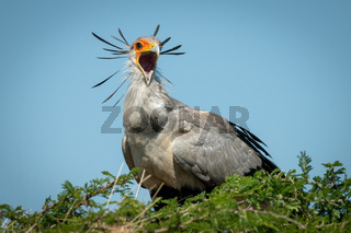 Secretary bird perched in tree opens mouth