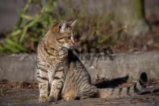 Hauskatze (Felis silvestris forma catus)