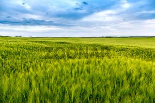 Green fields of wheat