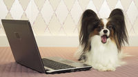 Papillon dog is lying near the laptop on bed