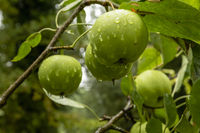 Green apples on a branch with water drops