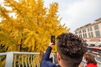 Young man taking photos of yellow leaves on gingko trees in Chengdu