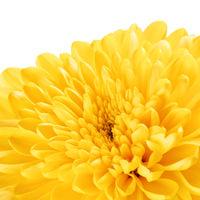 Yellow Chrysanthemum Flower Petals
