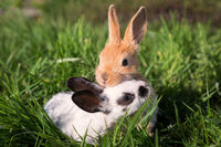 Two Baby Bunnies Playing on Green Grass