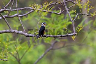 Collared falconet, Microhierax caerulescens, Jim Corbett National Park, Nainital District, Uttarakhand, India