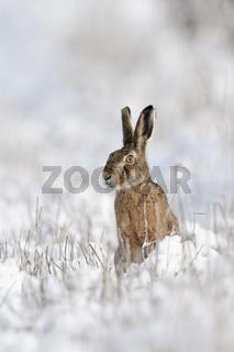 vorsichtiger Blick um die Ekce... Feldhase *Lepus europaeus* sitzt im Schnee