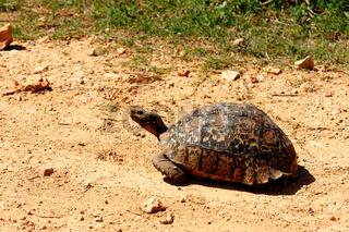 Tortoise walking down the dusty road