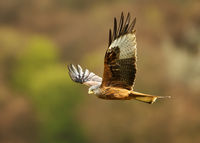 Red kite in flight in the countryside