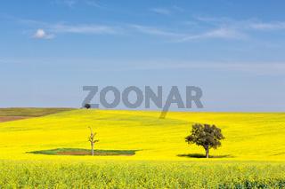 Beautiful undulating canola fields in the spring sunshine