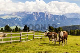 Rinder auf Almwiese, Südtirol, Italien, cattle on meadow, south tyrol, italy