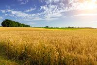 Wheat crop field summer landscape