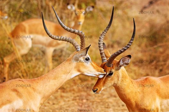 Liebkosende männliche Impalas, Schwarzfersenantilopen, South Luangwa Nationalpark, Sambia, (Aepyceros melampus)   Loving male Impalas, South Luangwa National Park, Zambia, (Aepyceros melampus)