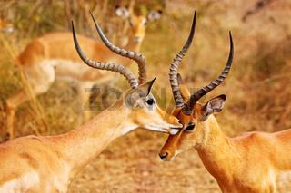 Liebkosende männliche Impalas, Schwarzfersenantilopen, South Luangwa Nationalpark, Sambia, (Aepyceros melampus) | Loving male Impalas, South Luangwa National Park, Zambia, (Aepyceros melampus)