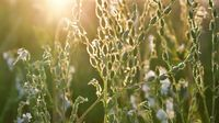 The Meadow grass and Saponaria at sunset