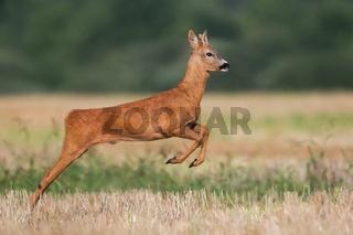 Roe deer buck running on a harvest field in summer