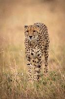 Cheetah walks towards camera through long grass