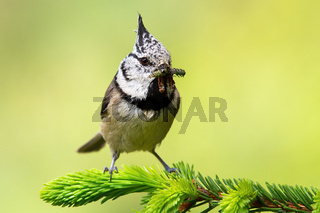 European crested tit sitting on spruce branch with worm in beak in spring