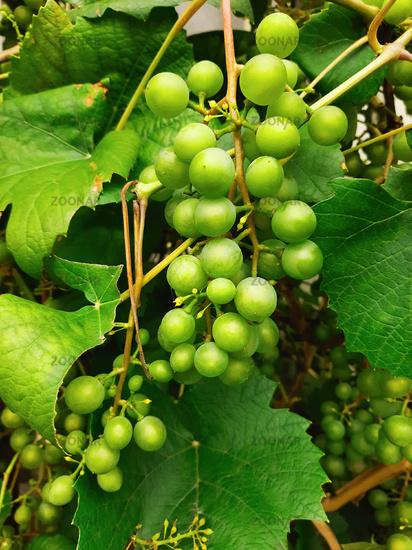 Green grapes branch