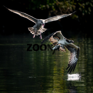 Osprey Vs. Gull III
