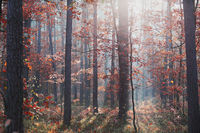 Forest in autumn colorful foliage on trees lit by morning sunlight