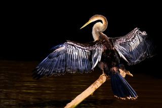 Anhinga, Anhinga Anhinga, also called Snakebird or Darter, Cuiaba River, Pantanal, Mato Grosso do Sul, Brazil