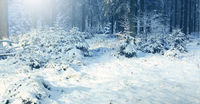 Winter landscape with snow covered fir trees and sunlight.