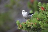 Gray Jay - Perisoreus canadensis, perched in a tree Glacier NP Montana