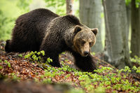 A massive male of brown bear searching for food in the foliage