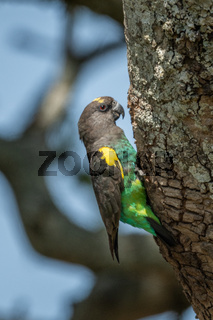 Brown parrot clings to lichen-covered tree trunk